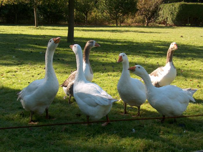 dutch, holland, photo, foto, gans, goose, dierendag. Schenk