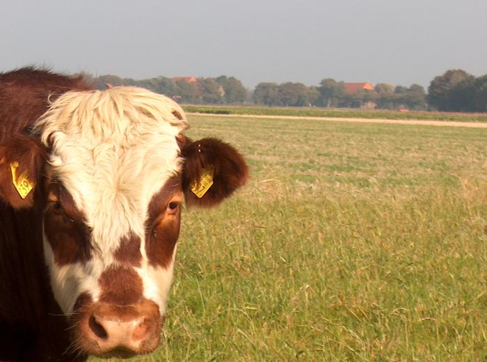 dutch, holland, photo, foto, stier, rund, wieringermeer, polder, wei